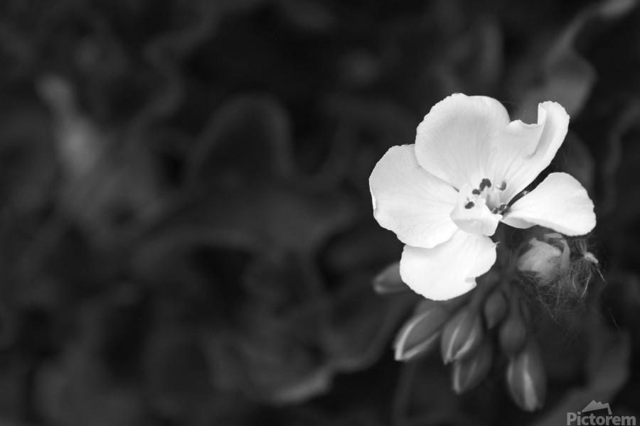 Blooming side flower B&W  Print