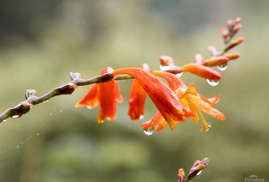 Orange Blooms with droplets  Print