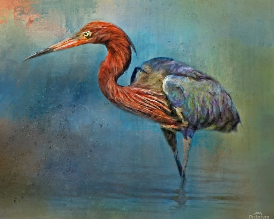 Painted Reddish Egret  Print