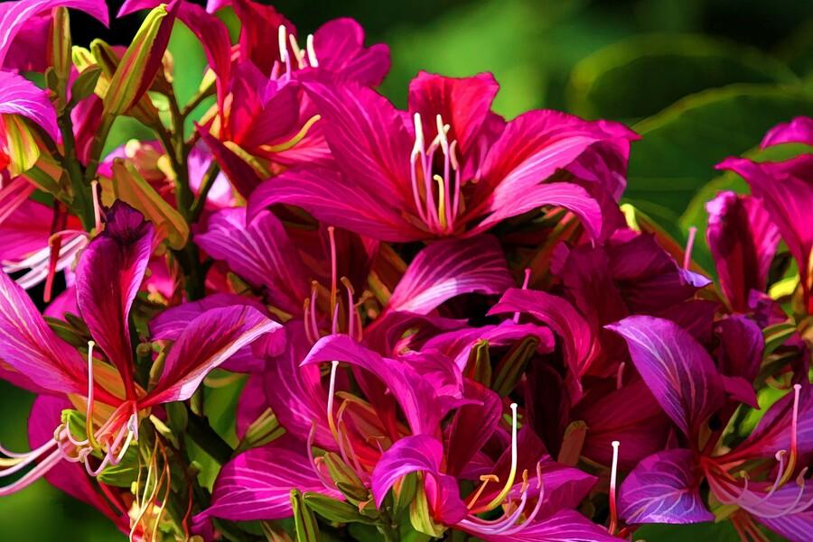 Hong Kong Orchid  Print