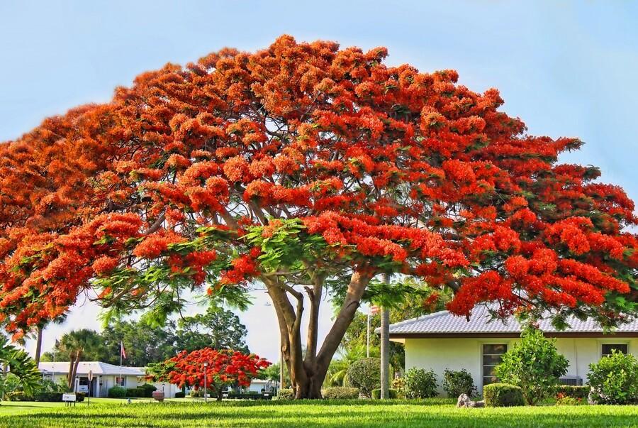 Royal Poinciana Tree  Print