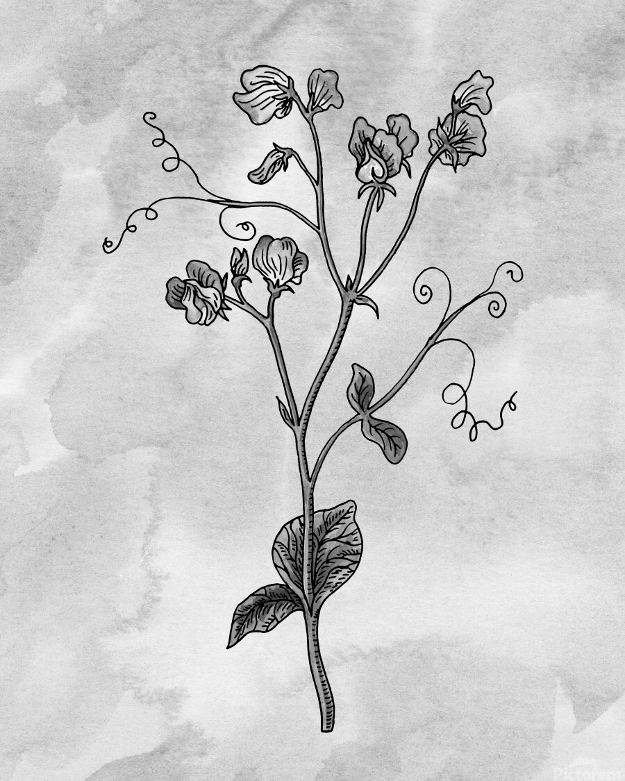 Sweet Pea Simple Gray Botanical Flower On Watercolor Marble   Print