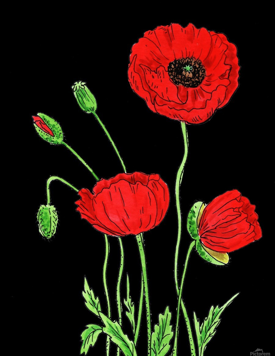 Red Poppy Flowers Watercolor  Print