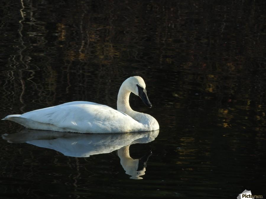 Trumpeter Swan at Estuary  Print