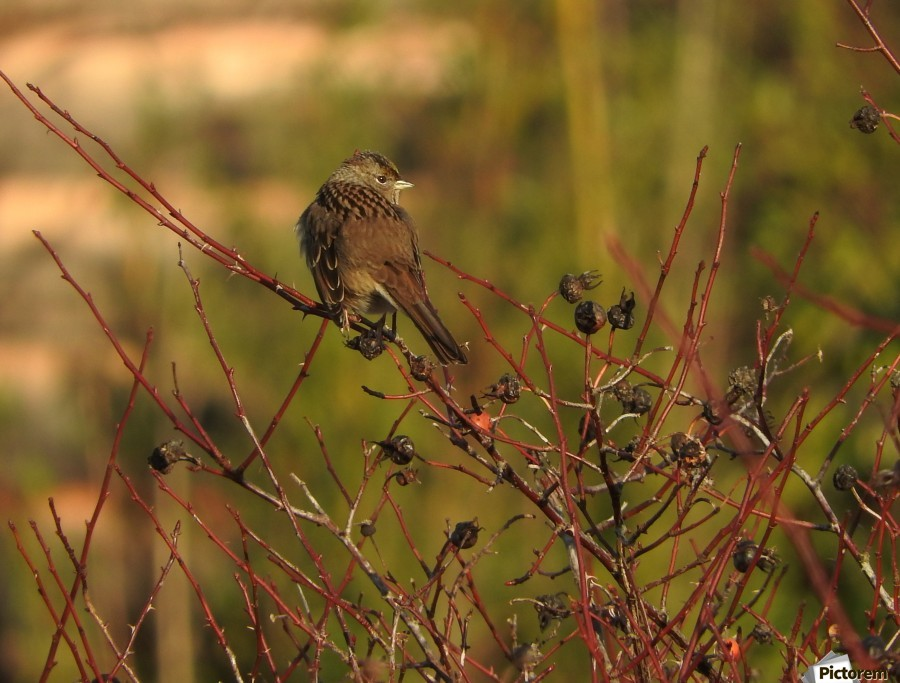 Sparrow on Wild Rose   Print
