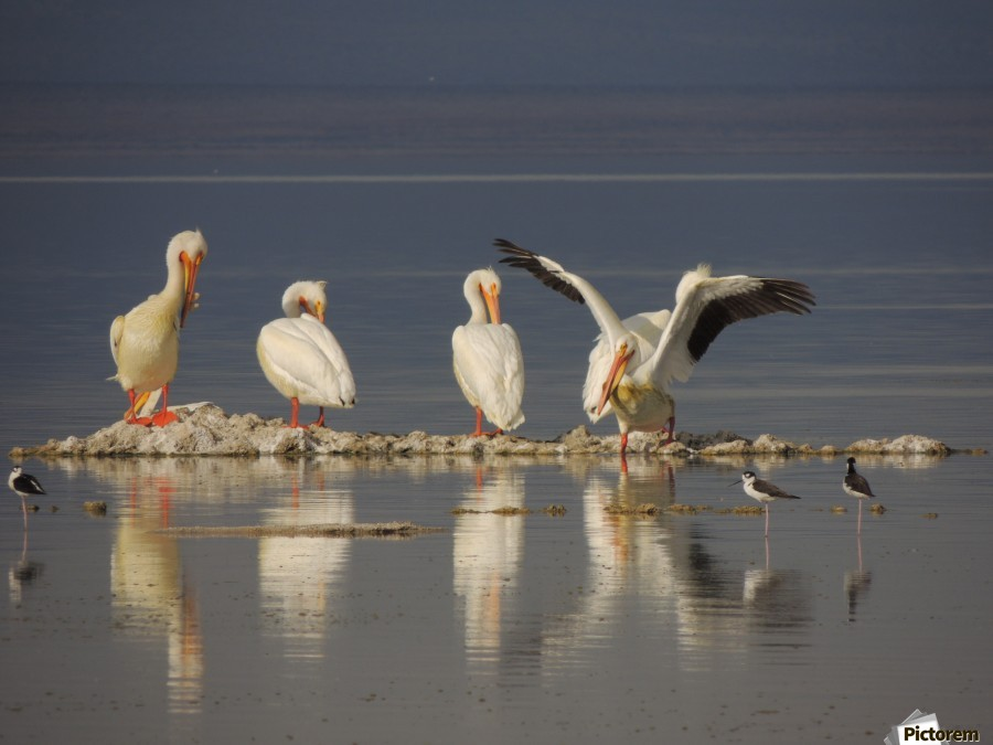 Pelican Reflections 2  Print