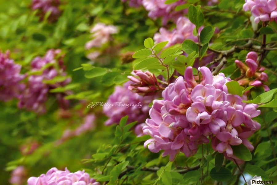 Rose Acacia Blossoms  Print