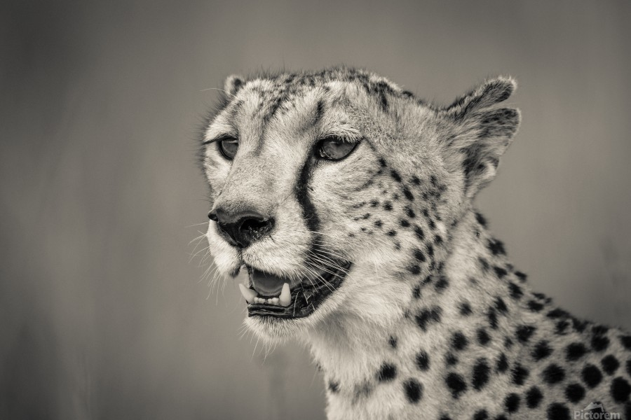 Cheetah Portrait  Print