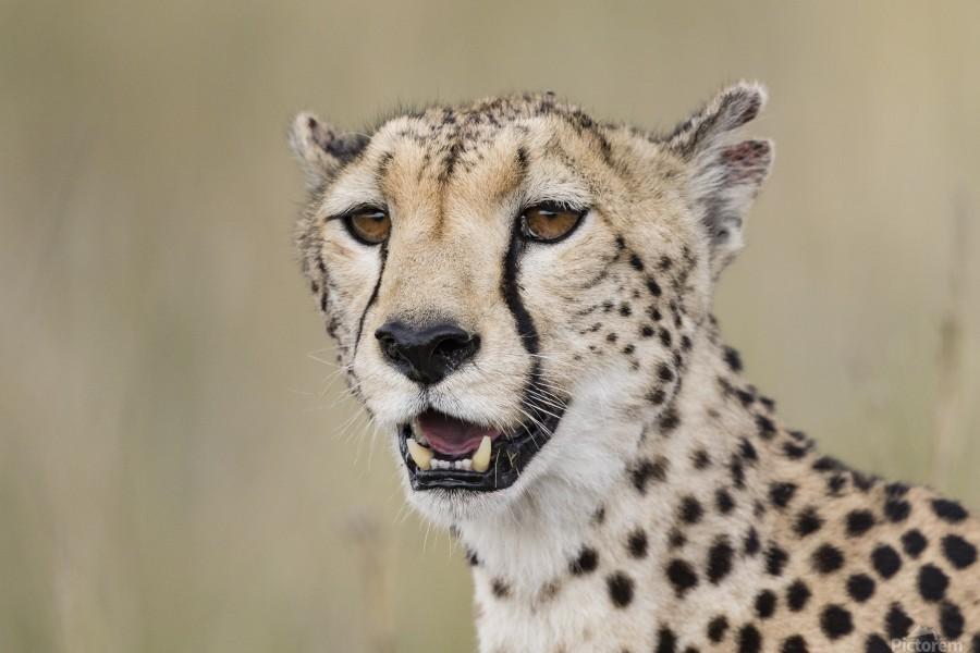 Cheetah Portrait by www.jadupontphoto.com  Print