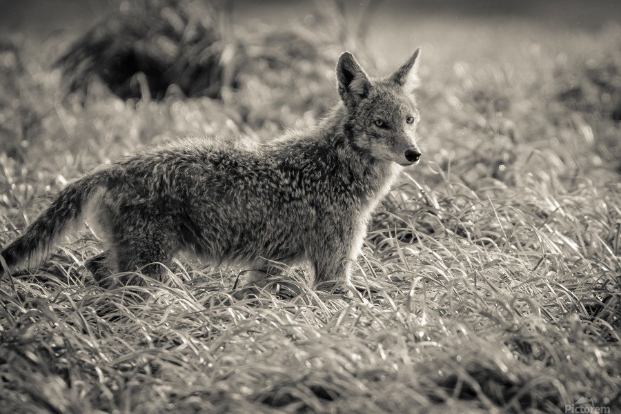 Coyote   Print