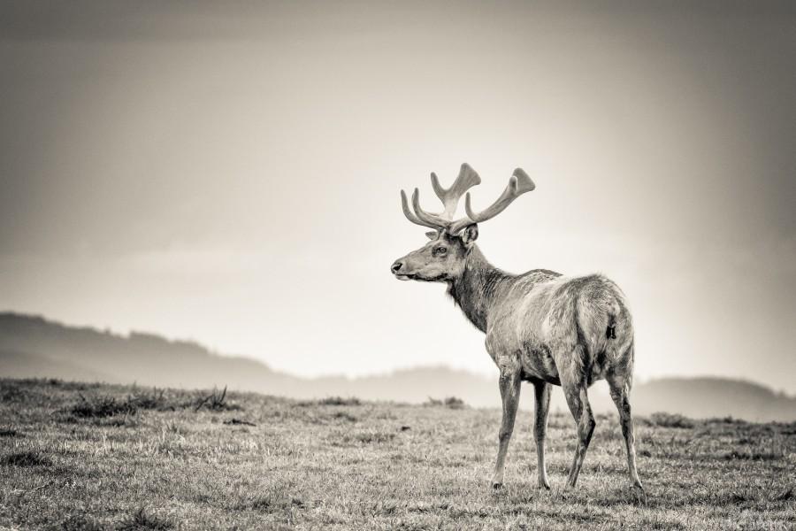 Tule Elk  Print