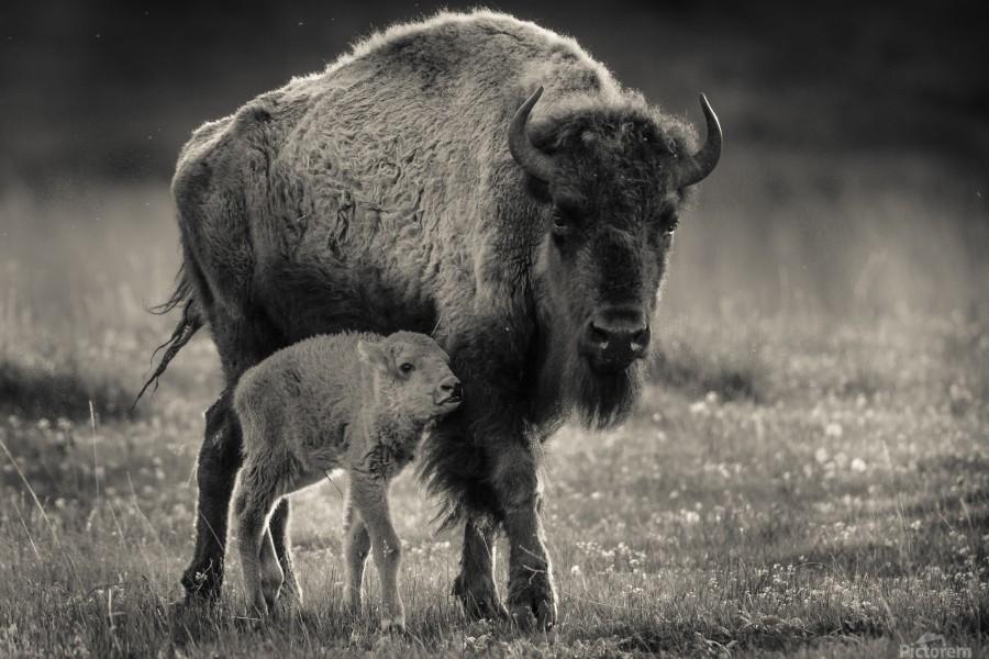 Bison love  Print