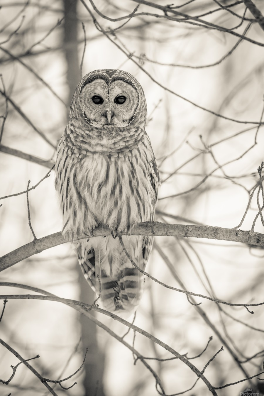 Spotted Owl - 1   Print