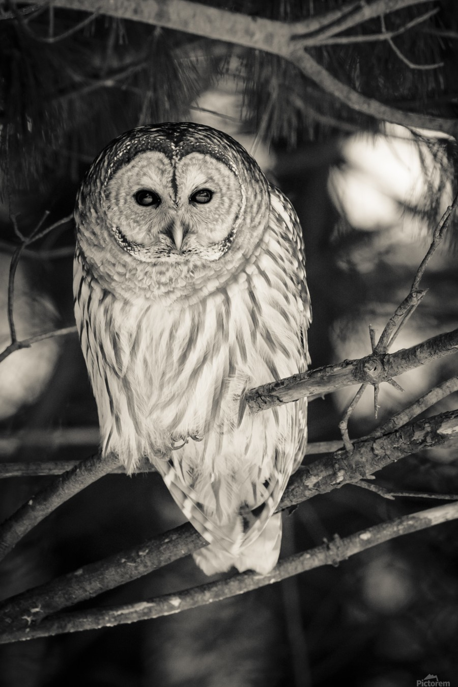 Spotted Owl - 2  Print