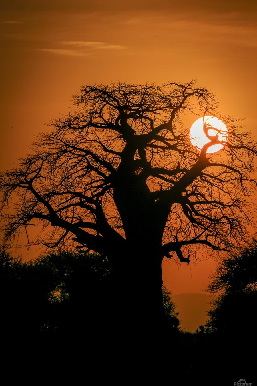 Baobab Sunset  Print
