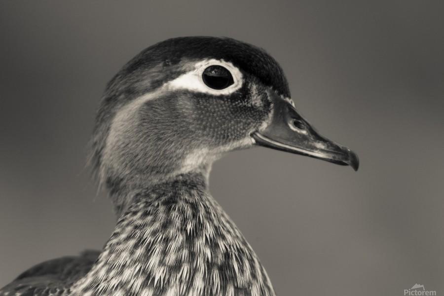 Wood Duck  Print