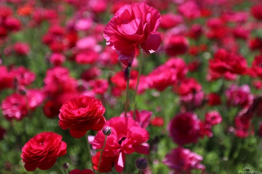 Never-ending Roses   Print