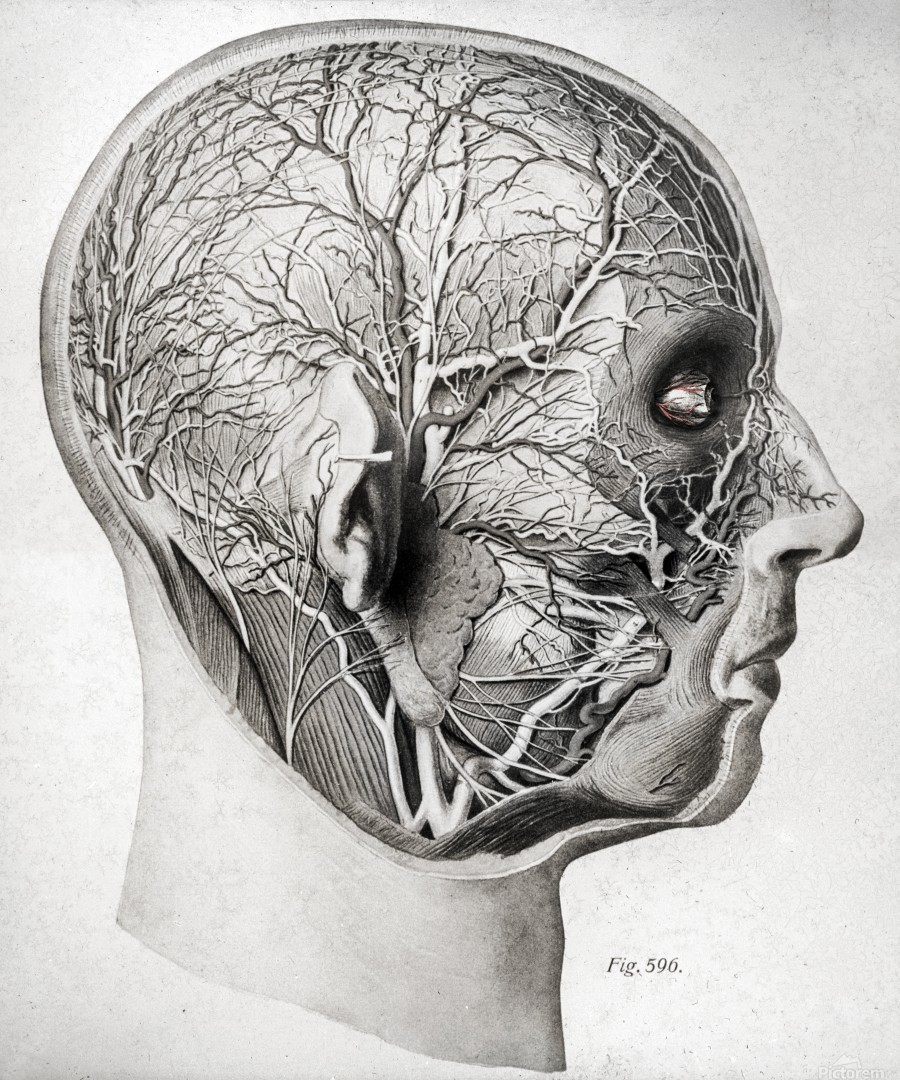 Nerves and Blood Vessels of the Head  Print