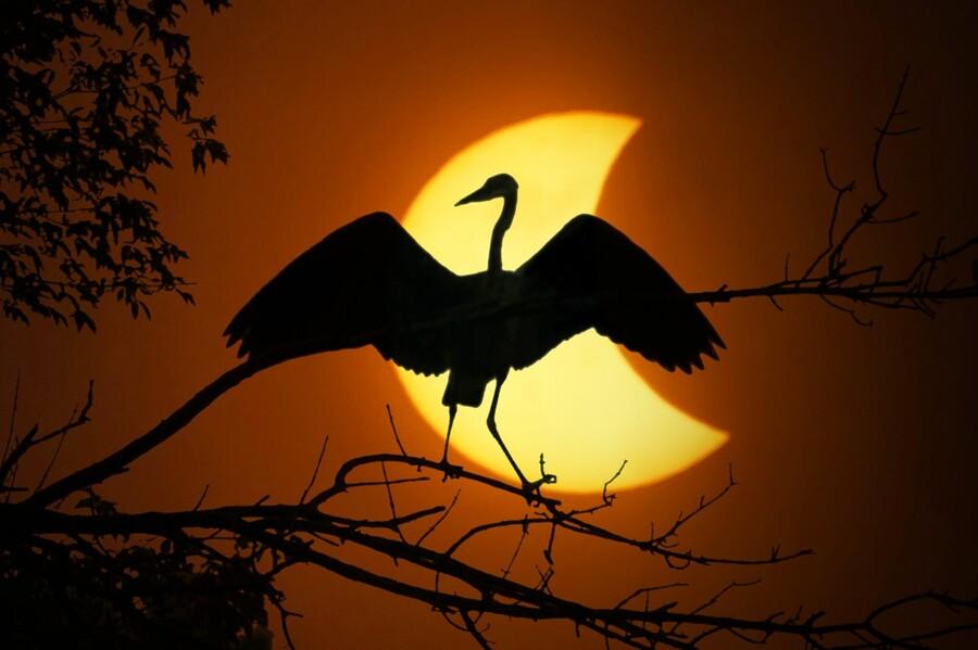 Egret Eclipse  Print
