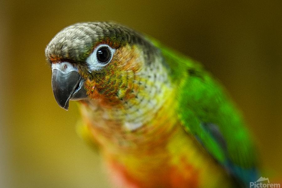 Parakeet  Print