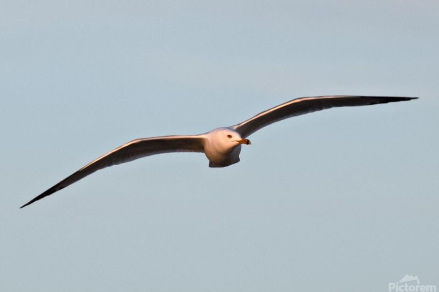 Fly like a Seagull  Print