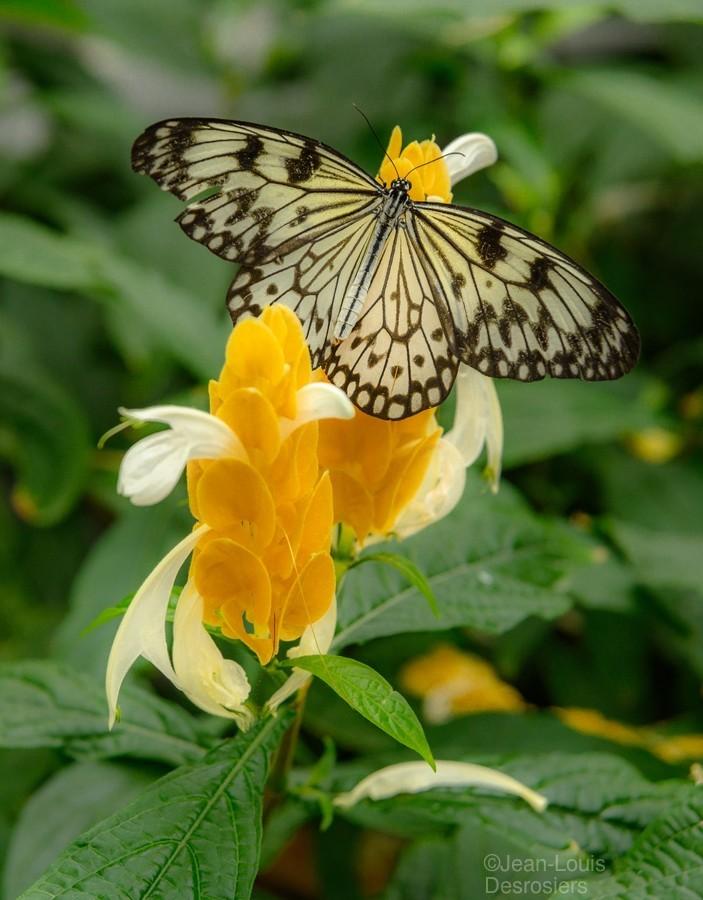 Papillon Rice paper  Print
