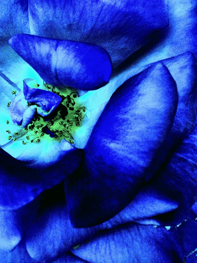 Art of the blue rose 3   Print