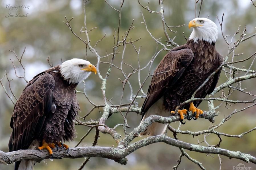 Bald Eagles  Print