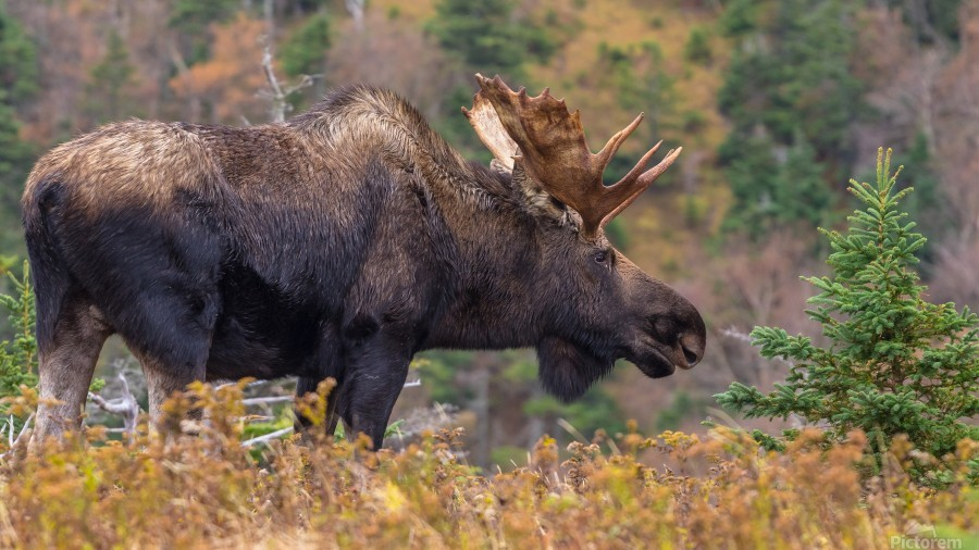Bull moose on top of Blueberry mountain Cape Breton highlands  Print