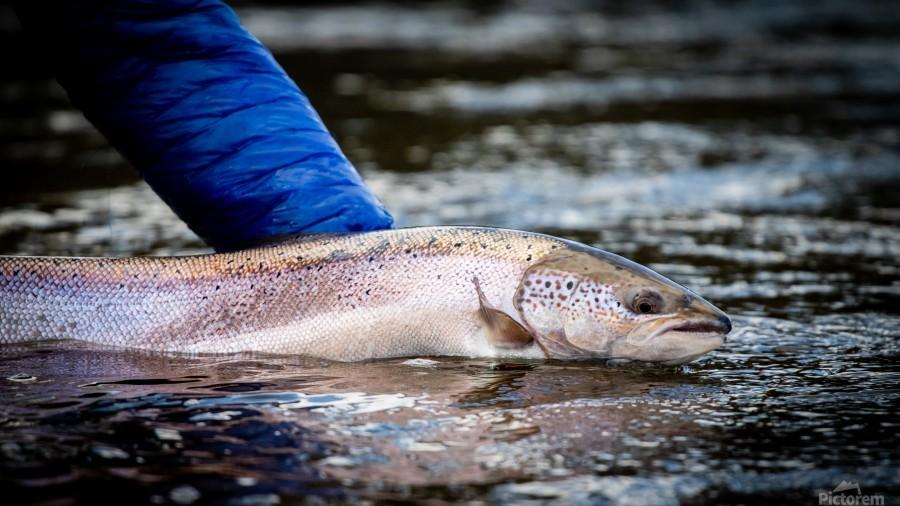 Salmon release  Print