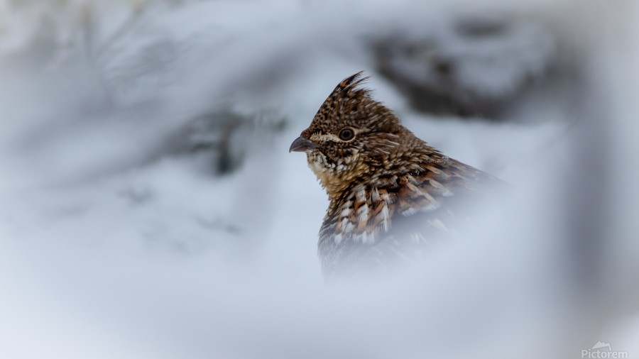 Winter Ruffed Grouse  Print
