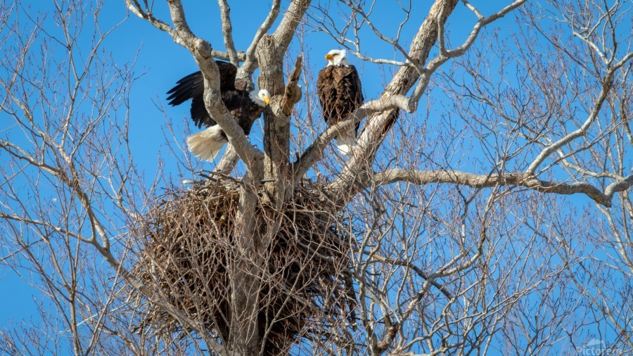 Bald Eagles cleaning up old nest.  Print