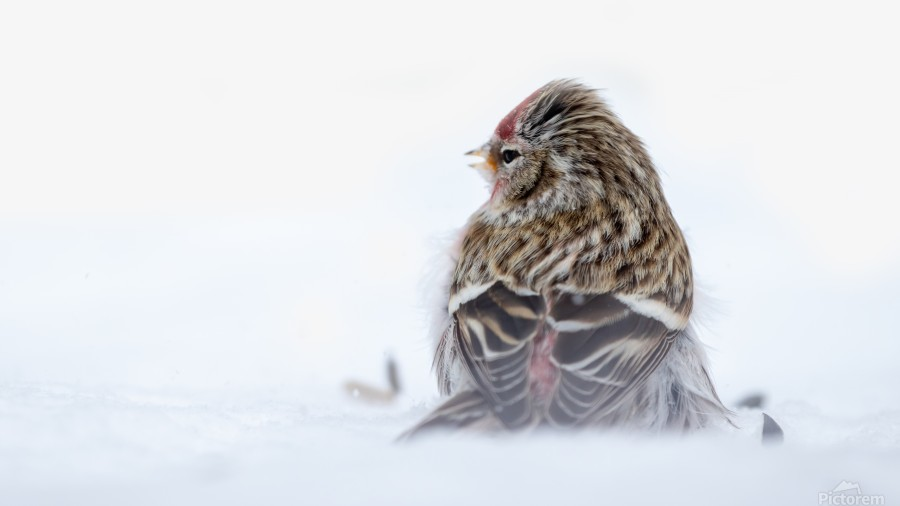 Common Redpoll  Print