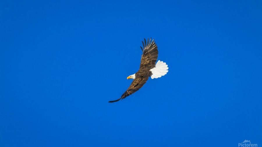 Soaring Bald Eagle  Print