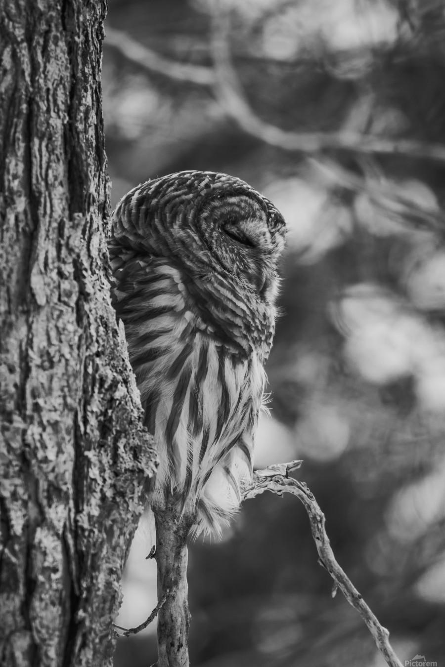 Black and white Barred Owl  Print