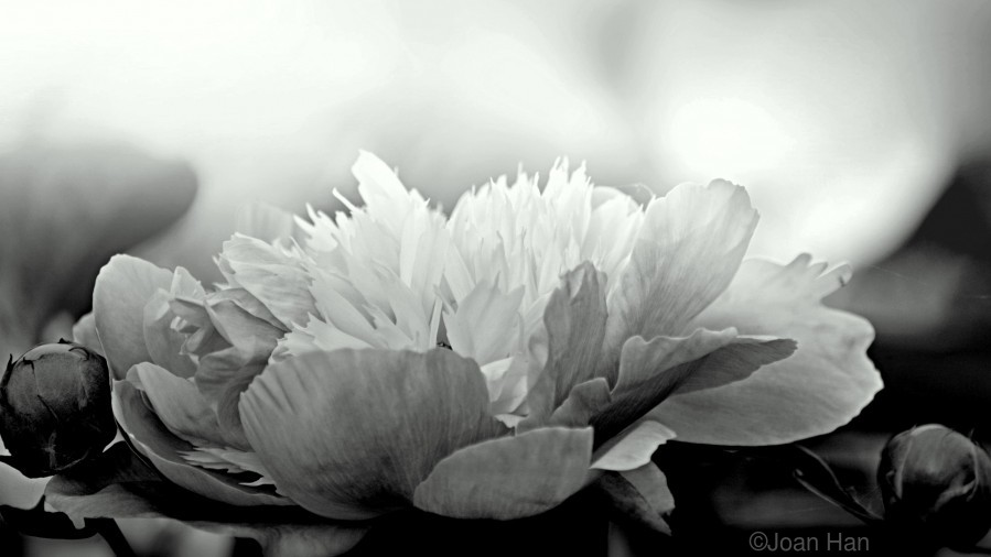 Heavenly Peony Black and White  Print