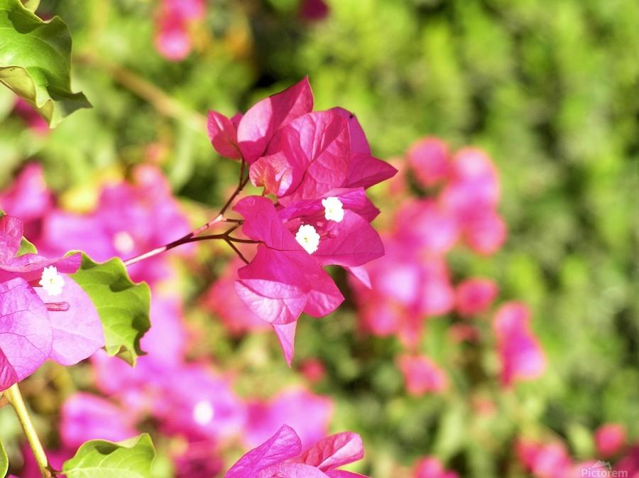 Flower39  Print