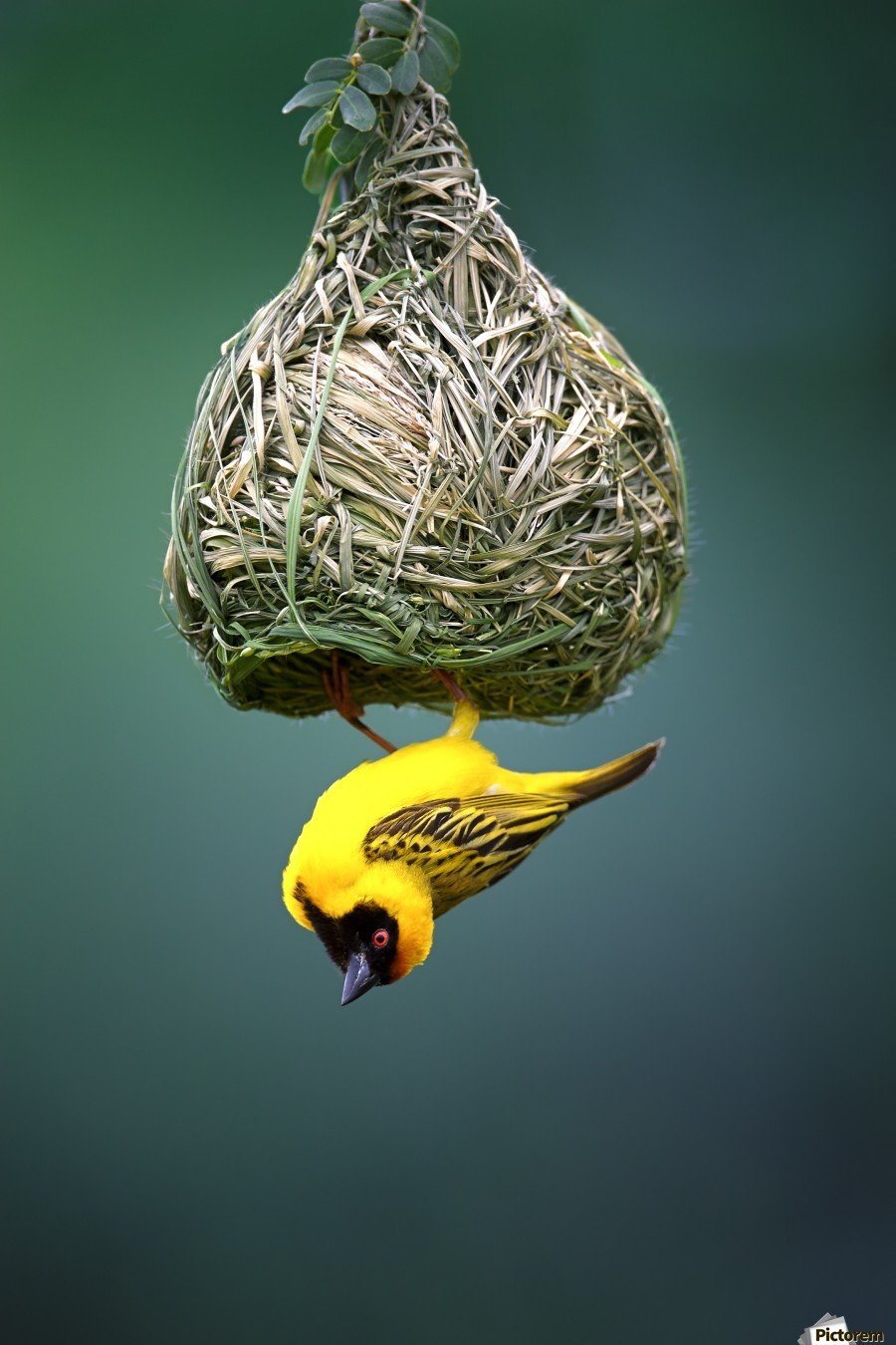 Masked weaver at nest  Print
