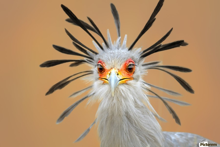 Secretary bird portrait close-up head shot  Print