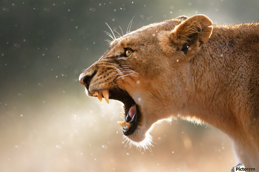 Lioness in the rain  Print