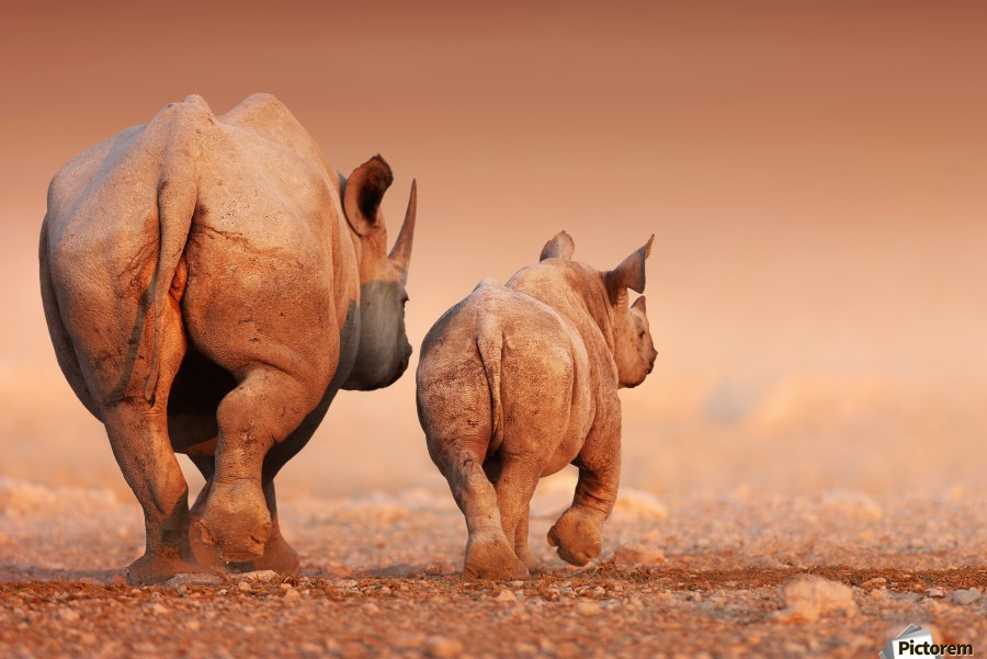 Black Rhinoceros calf and cow walking away  Print