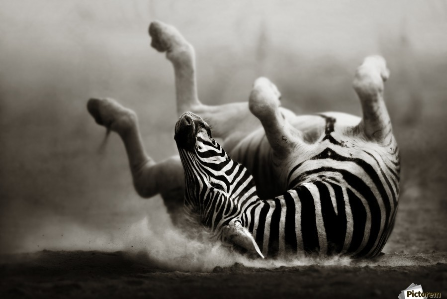 Zebra rolling in the dust  Print