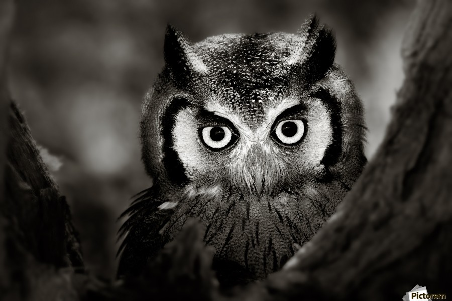 Whitefaced Owl close-up  Print