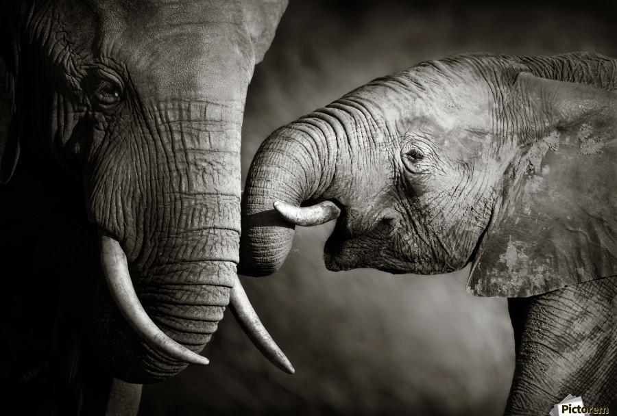 Elephant affection  Print