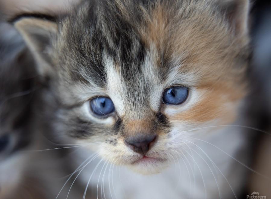 Kitten Face  Print