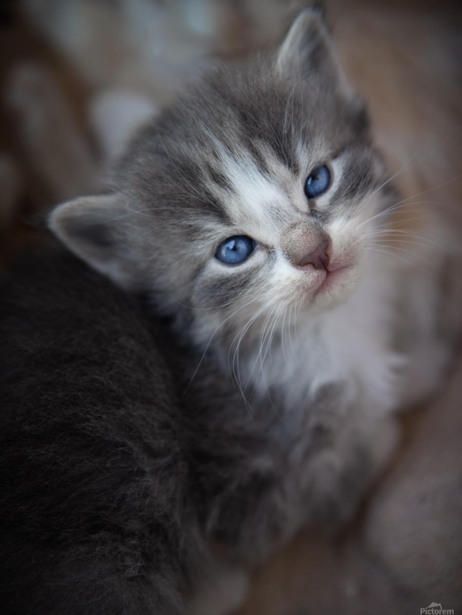 Gray Kitten  Print