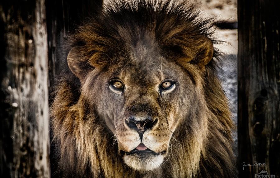 A Regal Lion  Print