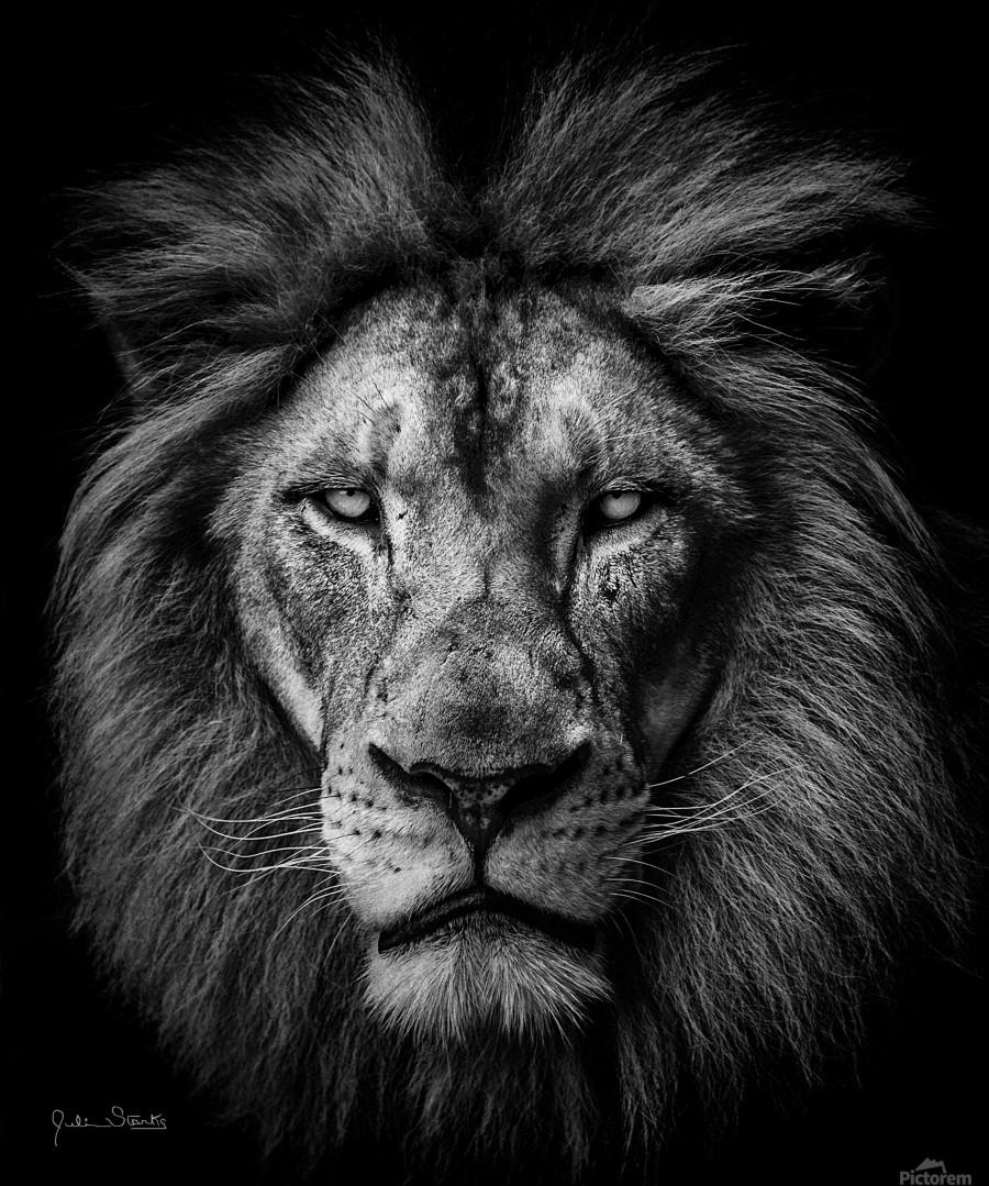 A Lion in Black & White  Print