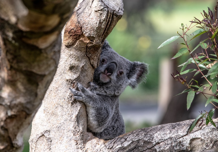 Australias Own Koala Bear  Print