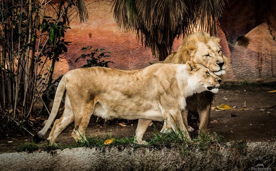 The Loving Lion Couple  Print